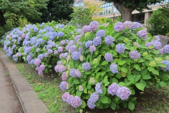 紫陽花IMG_0209