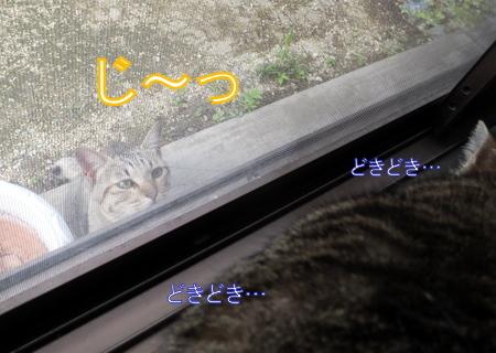 外猫が来た6
