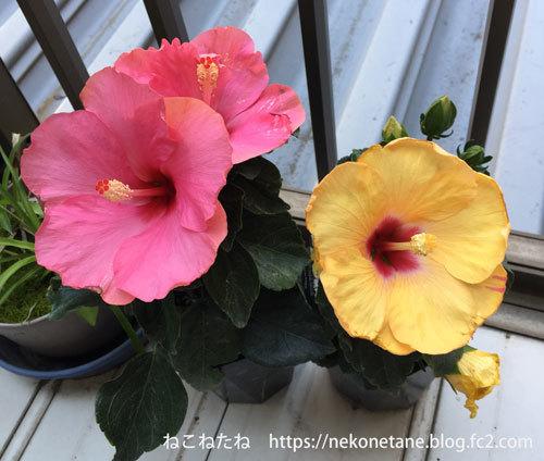 ハイビスカスのお花