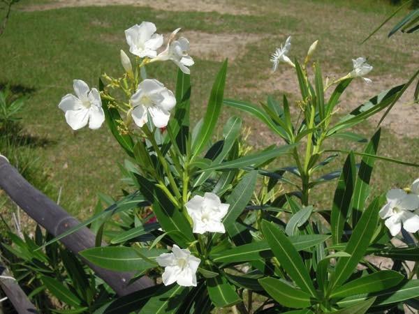 20180607 硫黄島の花