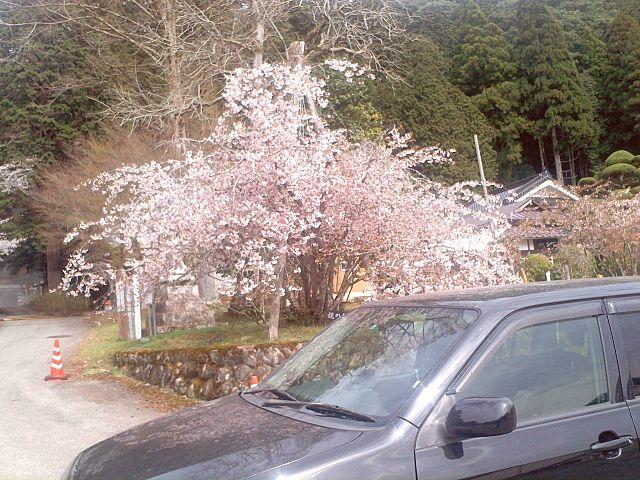 正福寺桜と愛車