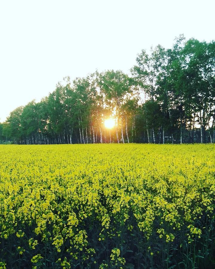 菜の花畑と夕陽