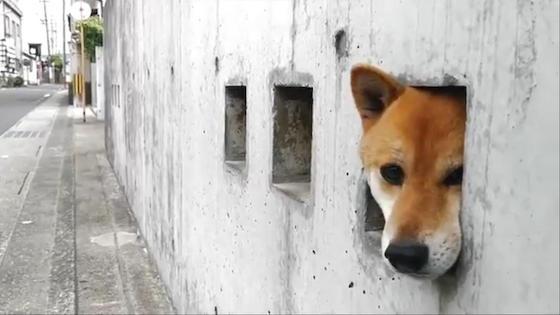 柴犬 壁 穴 島原