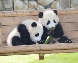 アドベンチャーワールドといえばパンダ