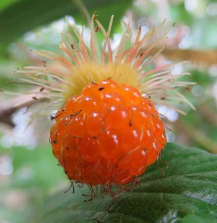 木イチゴ2