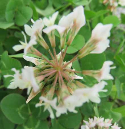 クローバーの花1
