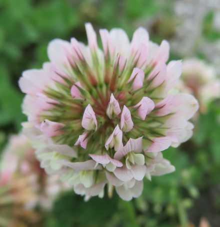 クローバーの花2
