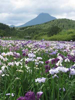 しょうぶ園と由布岳