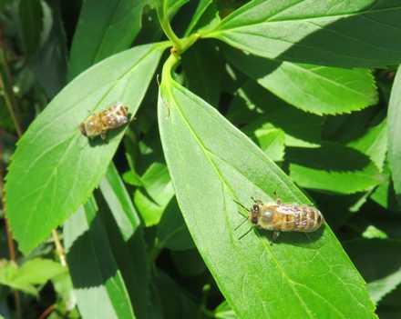 ミツバチ 5
