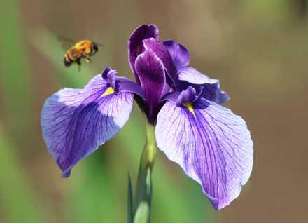 花菖蒲と蜂 1