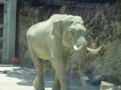 上野動物園 インドゾウ