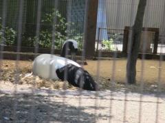 上野動物園 タンチョウヅル