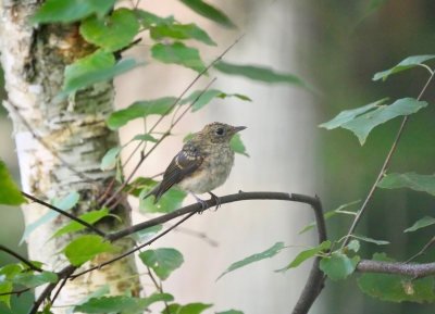 キビタキ幼鳥0725