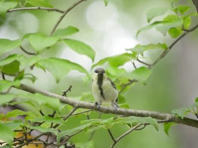 シジュウカラ幼鳥①0711