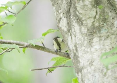 シジュウカラ幼鳥②0711