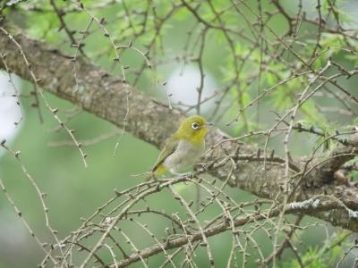 メジロ幼鳥0711