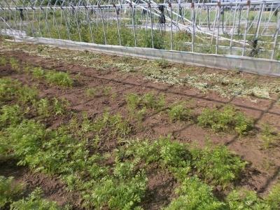ニンジン畑の草20180624