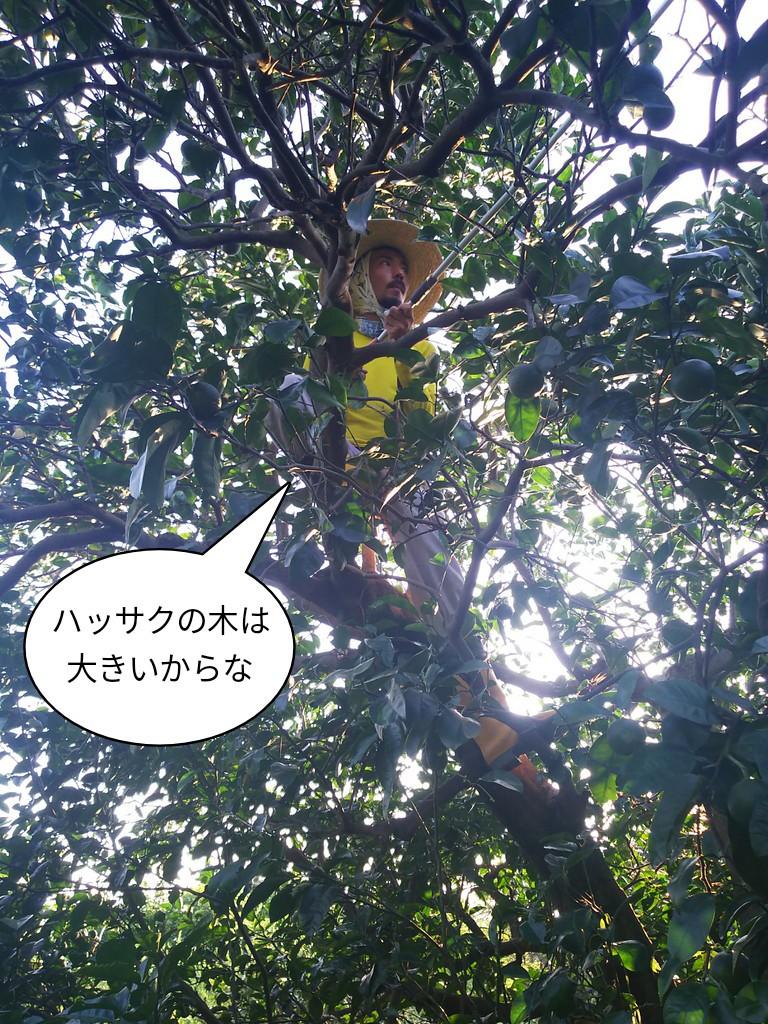 ハッサクの木は大きいからな