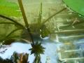 ナンフェア 睡蓮のつぼみ