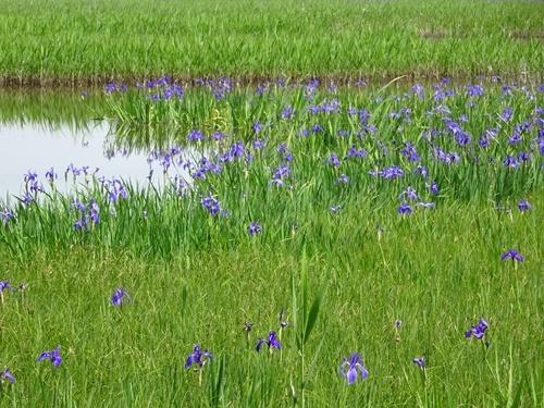 小堤西池のカキツバタ群落
