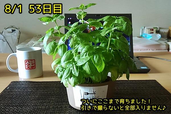 バジル栽培 0801