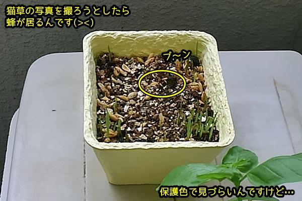 猫草0726