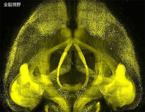 1細胞解像度の脳地図