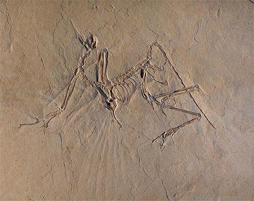 始祖鳥は・・・飛べた のかな?