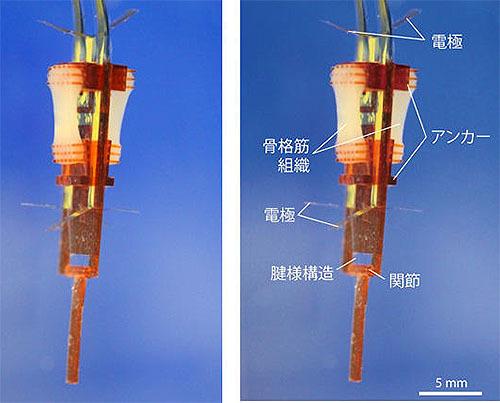 ヴォイニッチの科学書 第713回 筋肉と機械が融合したバイオハイブリッドロボットを開発
