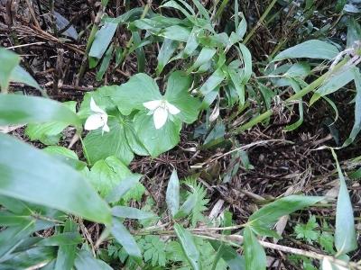 白花延齢草
