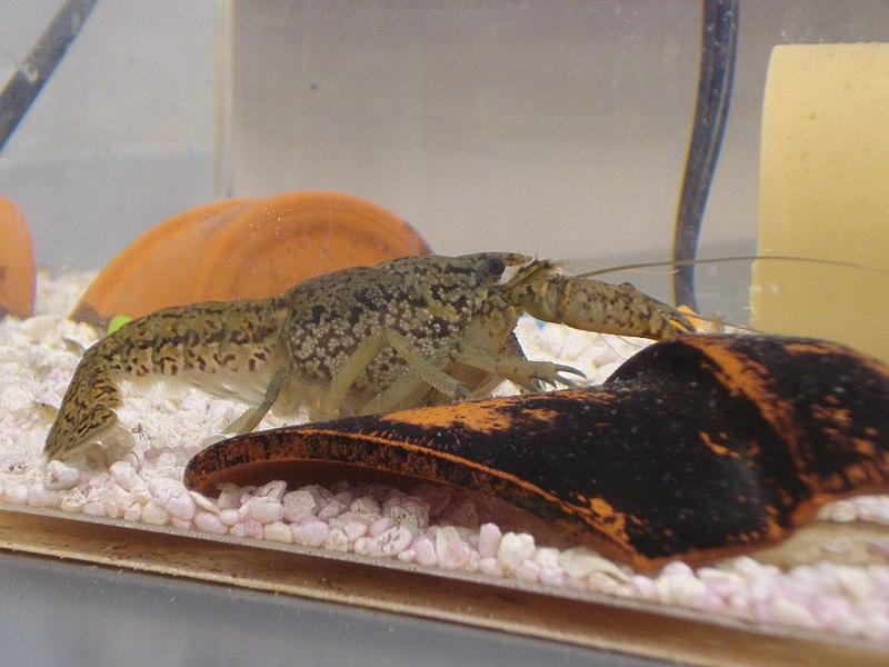 【クローン】謎のザリガニ「ミステリークレイフィッシュ」が日本で大量発生…環境省も注意喚起