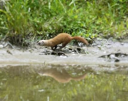 【異変】相模川でのアユ大量発生…地元住民「鮎とイタチなんだよ。今年はイタチが山を移動したりで、地元は本気で警戒して準備してるよ」