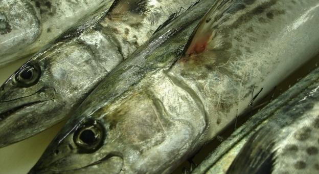 【兵庫・播磨灘】瀬戸内海で「サワラ」が例年にないレベルで大漁…漁師「これだけ獲れるのは初めて」