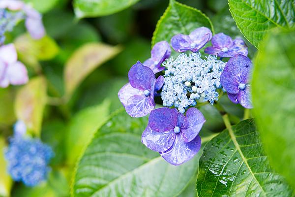 性海寺アジサイ紫