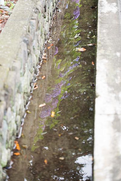 性海寺アジサイ水たまりに映る