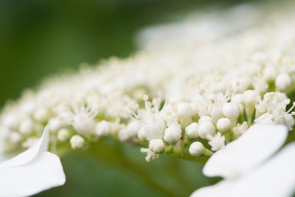 性海寺アジサイ白花
