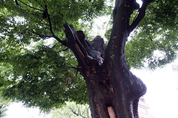 赤塚神明社境内の木