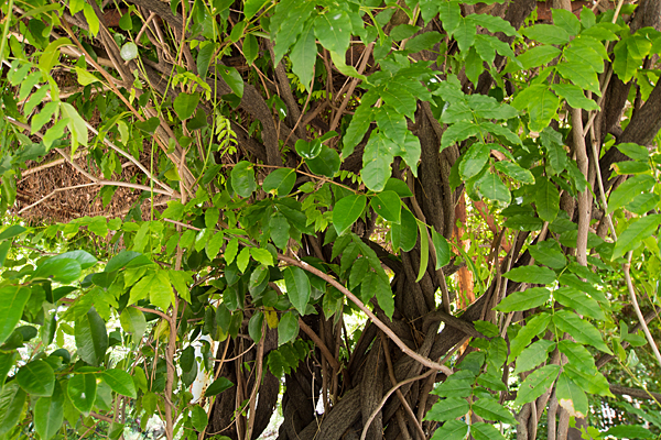 築地神社の木