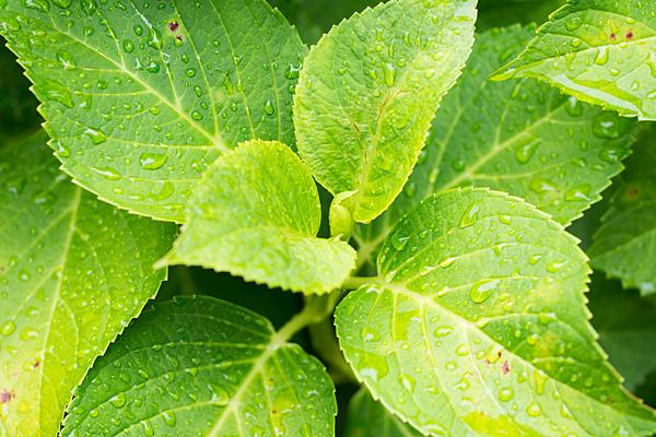 性海寺アジサイ雨に濡れる葉