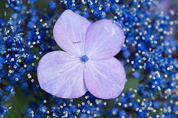 性海寺アジサイ青紫
