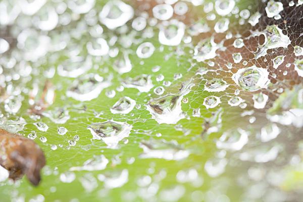 性海寺アジサイクモの巣と雨粒