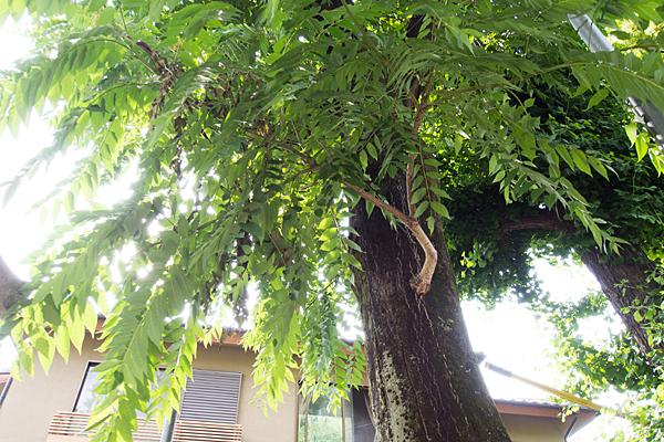 シンジュの木