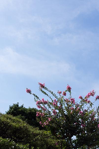 サルスベリの花と青空