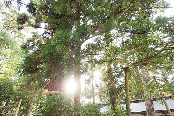 大神神社御神木の杉