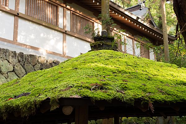 大神神社屋根の苔