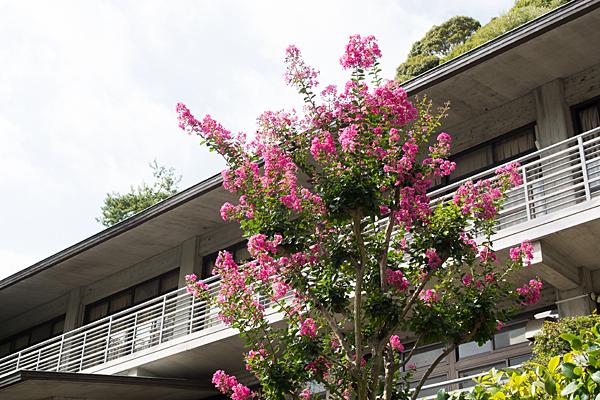 犬山寂光院サルスベリの花