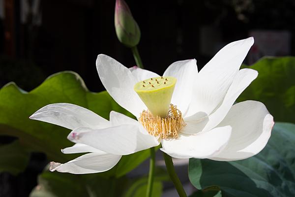 犬山寂光院白い蓮の花