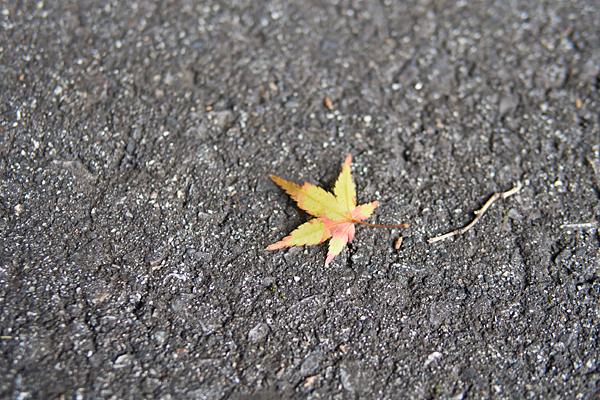 犬山寂光院色づきモミジの葉