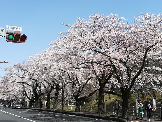 2019年旧県庁桜