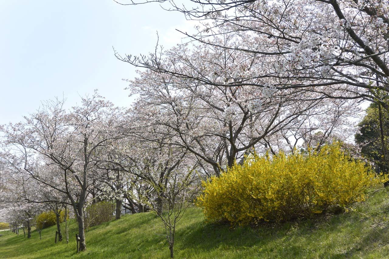 _DSC9893近所の桜